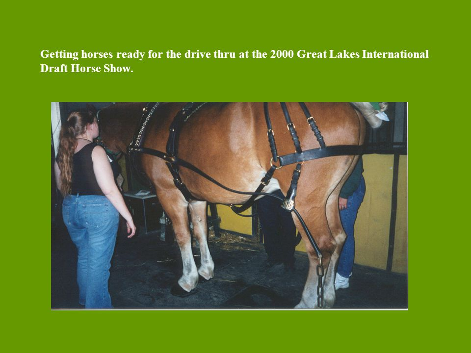 Getting horses ready for the drive thru at the 2000 Great Lakes International Draft Horse Show.