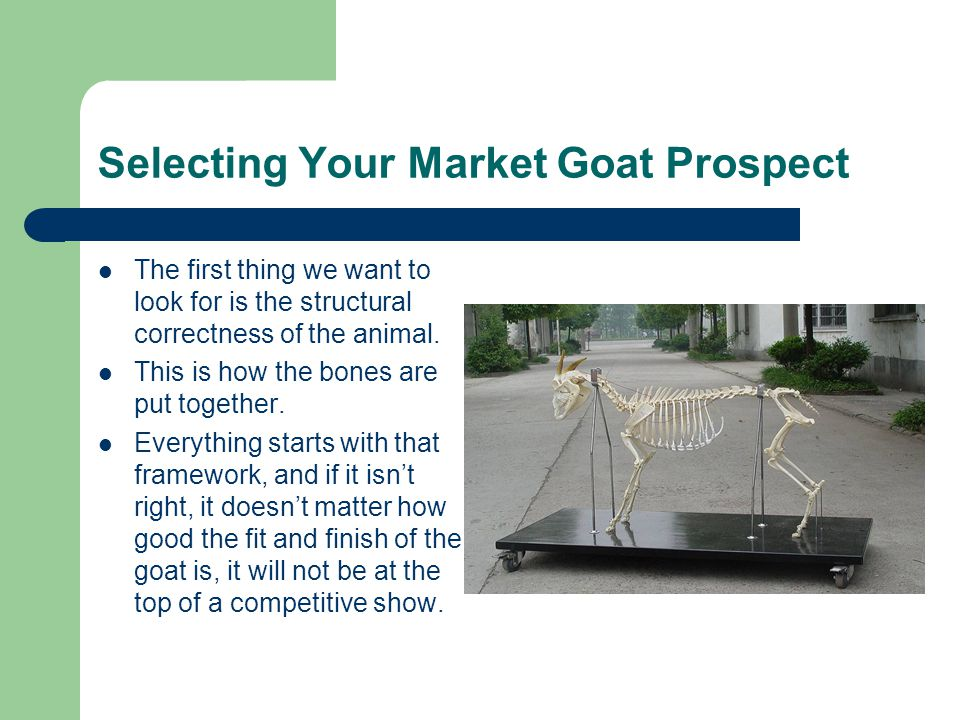 Selecting Your Market Goat Prospect The first thing we want to look for is the structural correctness of the animal.