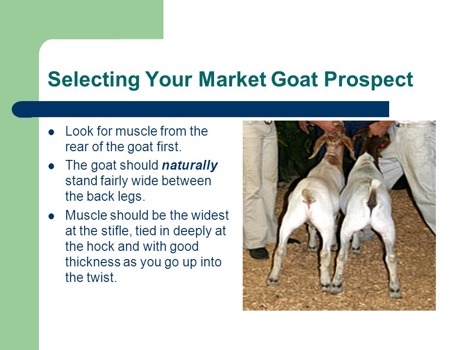 Selecting Your Market Goat Prospect Look for muscle from the rear of the goat first.