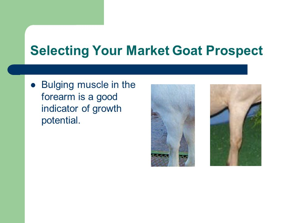 Selecting Your Market Goat Prospect Bulging muscle in the forearm is a good indicator of growth potential.
