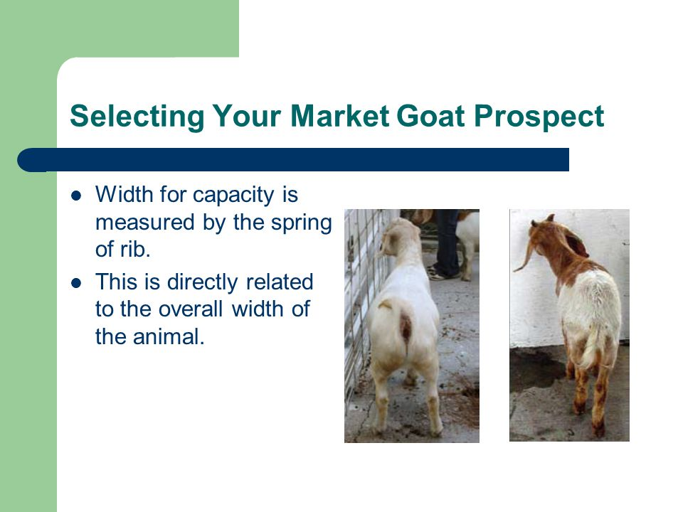 Selecting Your Market Goat Prospect Width for capacity is measured by the spring of rib.