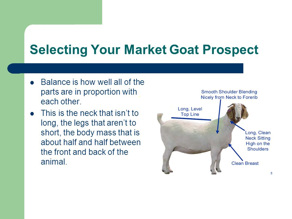 Selecting Your Market Goat Prospect Balance is how well all of the parts are in proportion with each other.