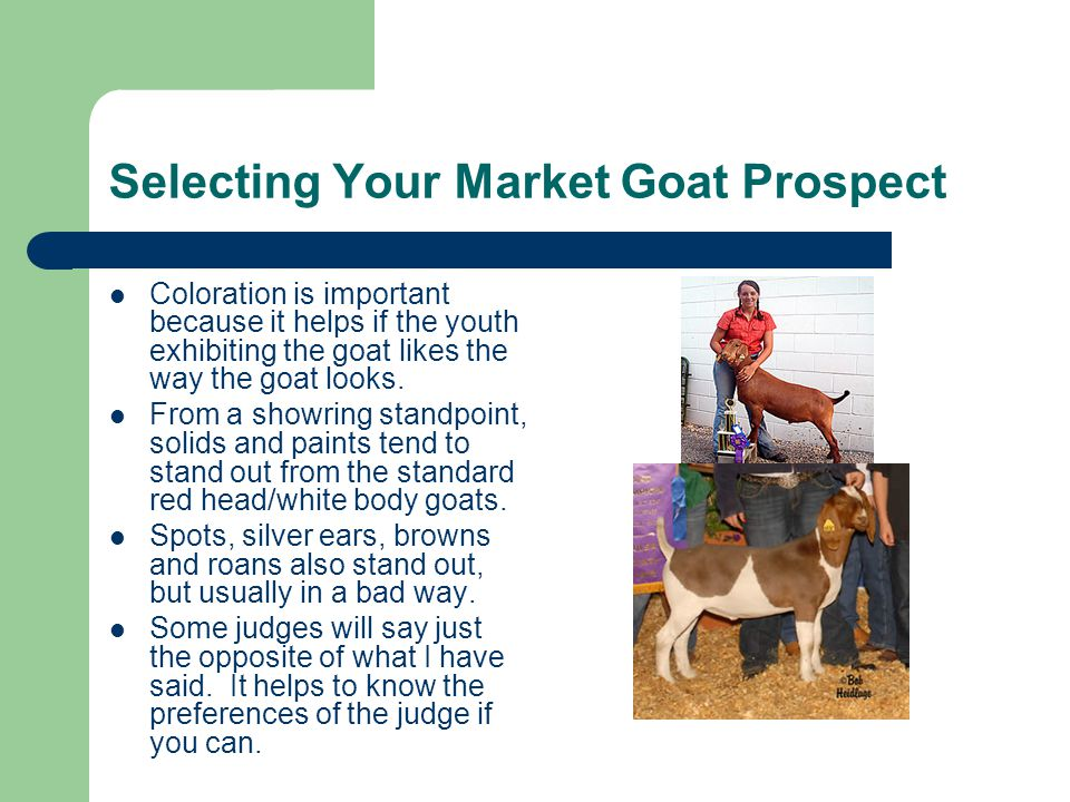 Selecting Your Market Goat Prospect Coloration is important because it helps if the youth exhibiting the goat likes the way the goat looks.
