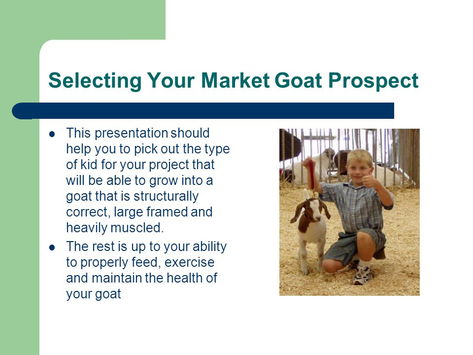 Selecting Your Market Goat Prospect This presentation should help you to pick out the type of kid for your project that will be able to grow into a goat that is structurally correct, large framed and heavily muscled.