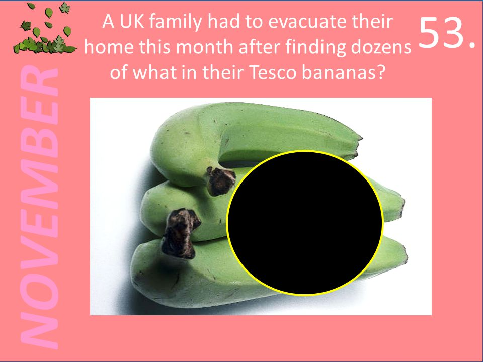 NOVEMBER A UK family had to evacuate their home this month after finding dozens of what in their Tesco bananas.