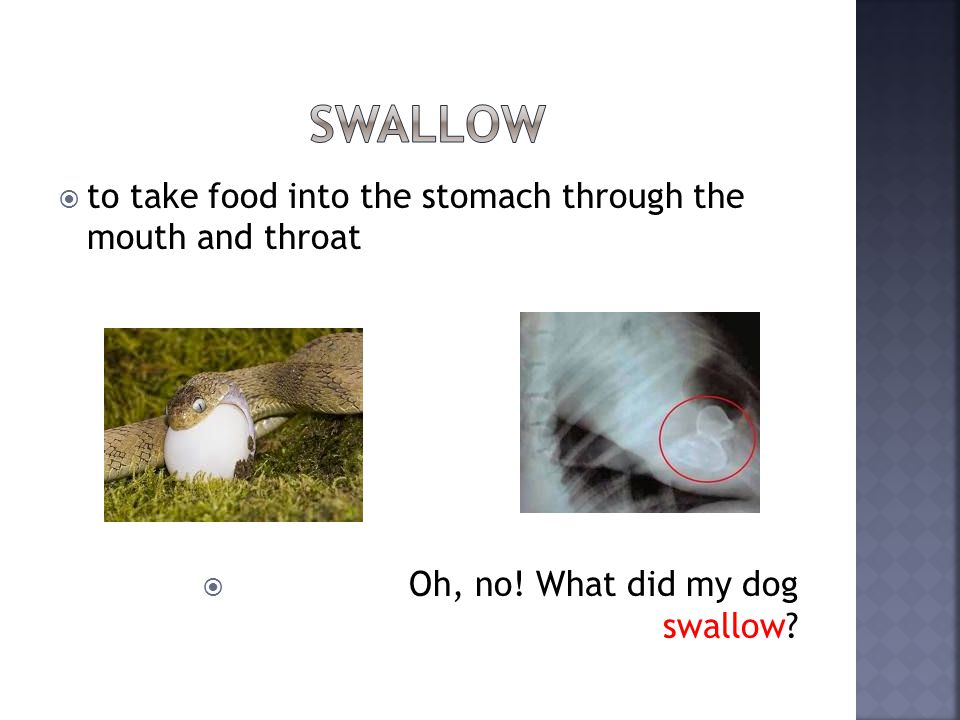 to take food into the stomach through the mouth and throat Oh, no! What did my dog swallow