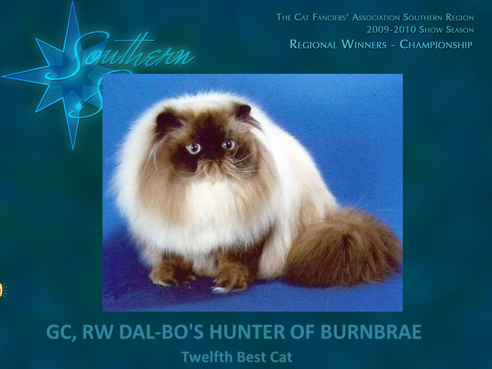 Twelfth Best Cat GC, RW DAL-BO'S HUNTER OF BURNBRAE