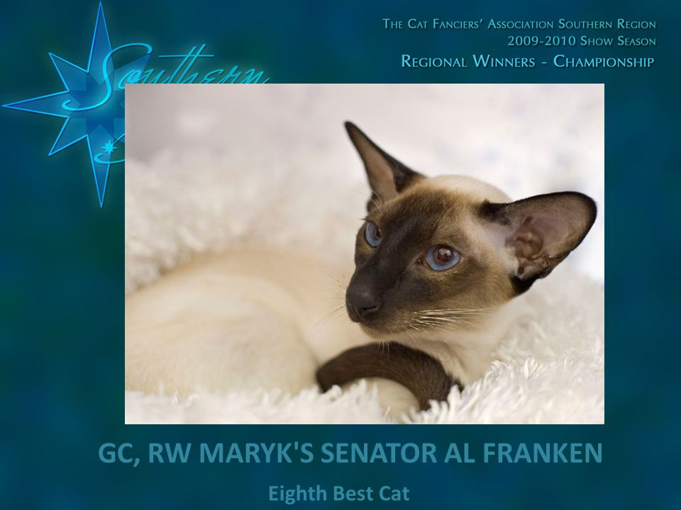 Eighth Best Cat GC, RW MARYK'S SENATOR AL FRANKEN