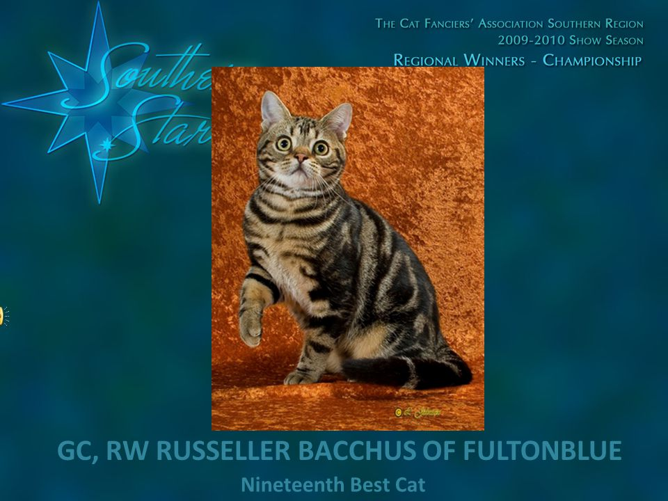 Nineteenth Best Cat GC, RW RUSSELLER BACCHUS OF FULTONBLUE