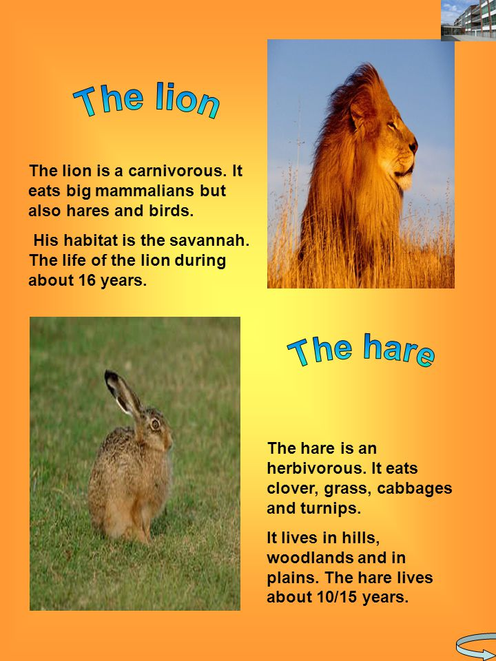 The lion is a carnivorous. It eats big mammalians but also hares and birds.