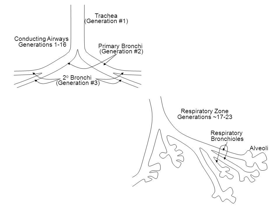 Trachea (Generation #1) Primary Bronchi (Generation #2) Conducting Airways Generations 1-16 2 o Bronchi (Generation #3) Respiratory Zone Generations ~