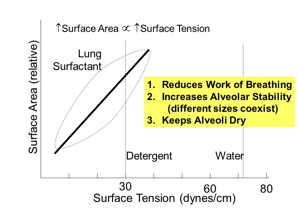 Surface Area (relative) Surface Tension (dynes/cm) 30 60 WaterDetergent Lung Surfactant 80 Surface Area Surface Tension 1.Reduces Work of Breathing 2.