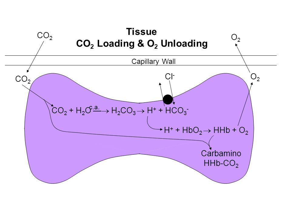 Capillary Wall CO 2 + H 2 O H 2 CO 3 H + + HCO 3 - O2O2 CO 2 Cl - H + + HbO 2 HHb + O 2 Carbamino HHb-CO 2 O2O2 Tissue CO 2 Loading & O 2 Unloading c.
