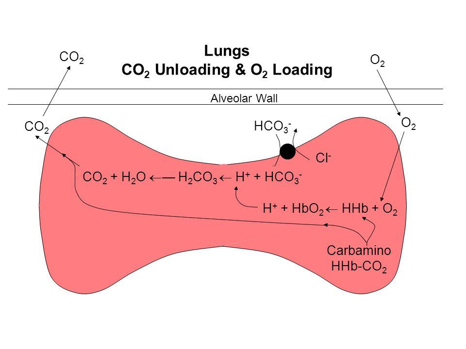 Alveolar Wall O2O2 CO 2 Cl - H + + HbO 2 HHb + O 2 Carbamino HHb-CO 2 O2O2 Lungs CO 2 Unloading & O 2 Loading c.a. HCO 3 - CO 2 + H 2 O H 2 CO 3 H + +