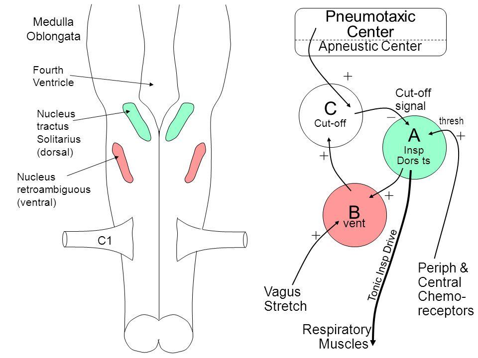 Fourth Ventricle Nucleus retroambiguous (ventral) Nucleus tractus Solitarius (dorsal) C1 Medulla Oblongata C Cut-off B vent A Insp Dors ts Pneumotaxic