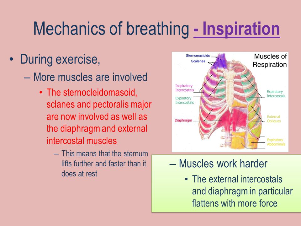 Mechanics of breathing - Inspiration During exercise, – More muscles are involved The sternocleidomasoid, sclanes and pectoralis major are now involved as well as the diaphragm and external intercostal muscles – This means that the sternum lifts further and faster than it does at rest – Muscles work harder The external intercostals and diaphragm in particular flattens with more force – Muscles work harder The external intercostals and diaphragm in particular flattens with more force