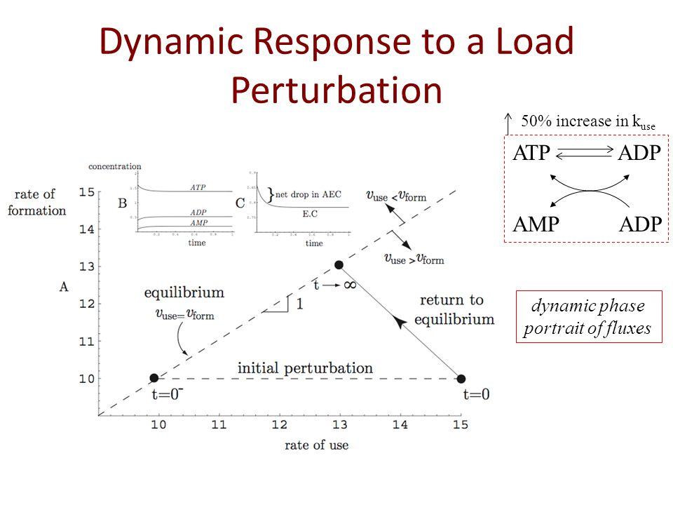 Dynamic Response to a Load Perturbation ATP ADP AMPADP 50% increase in k use dynamic phase portrait of fluxes