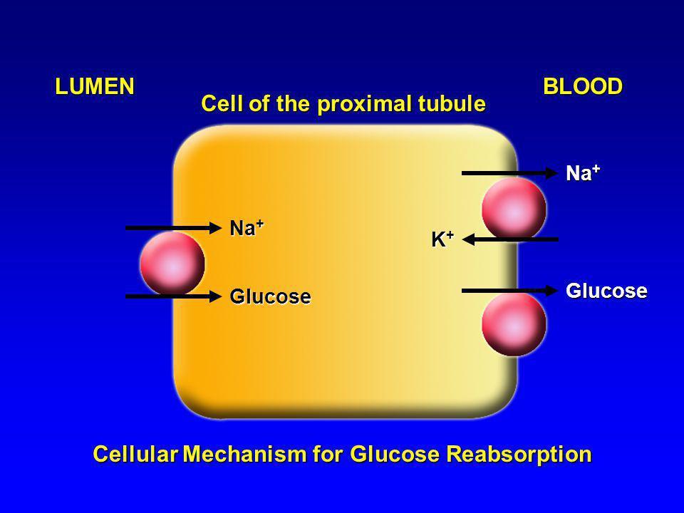 Cell of the proximal tubule LUMENBLOOD Na + Glucose Glucose K+K+K+K+ Cellular Mechanism for Glucose Reabsorption