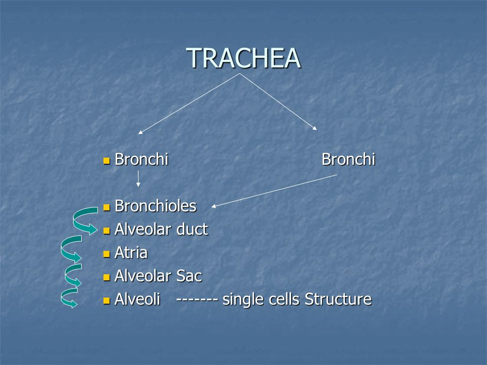 TRACHEA BronchiBronchi BronchiBronchi Bronchioles Bronchioles Alveolar duct Alveolar duct Atria Atria Alveolar Sac Alveolar Sac Alveoli ------- single