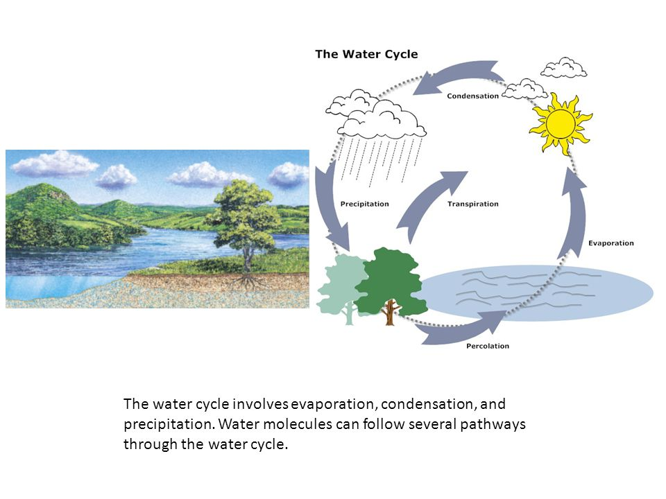 The water cycle involves evaporation, condensation, and precipitation. Water molecules can follow several pathways through the water cycle.