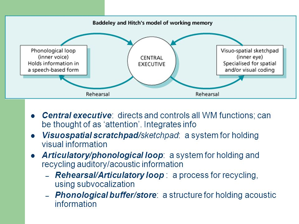 Working Memory Central executive: directs and controls all WM functions; can be thought of as attention. Integrates info Visuospatial scratchpad/sketc