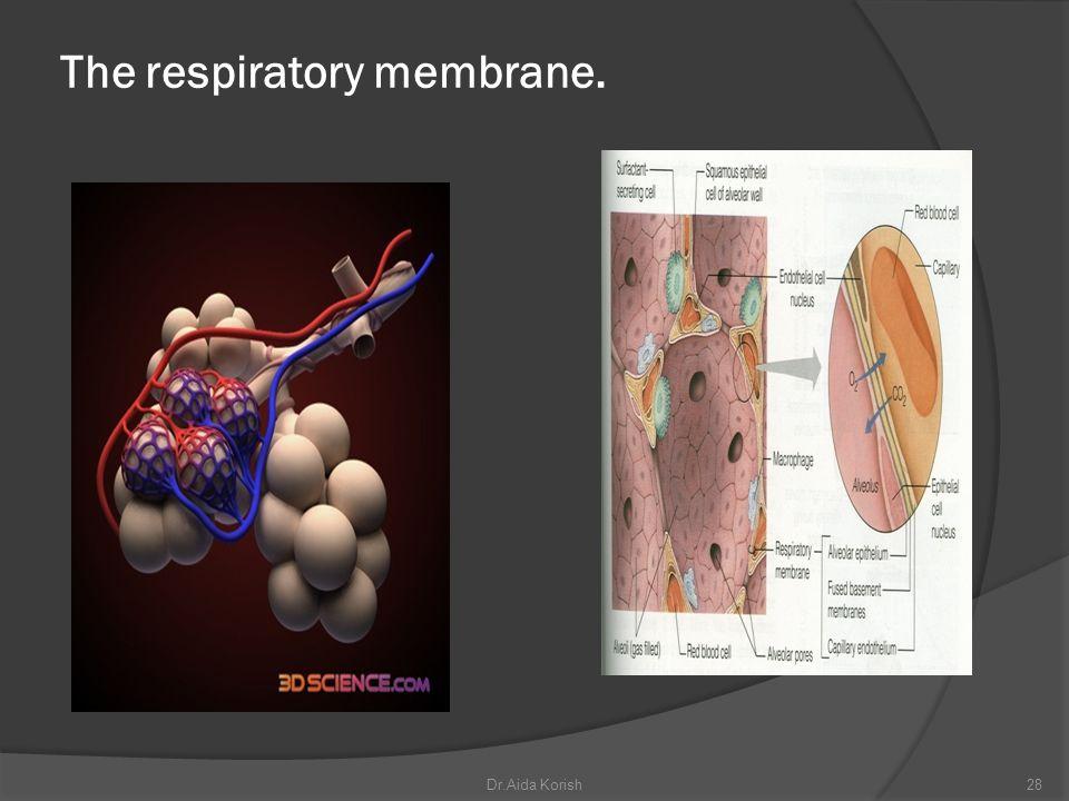 The respiratory membrane. 28Dr.Aida Korish