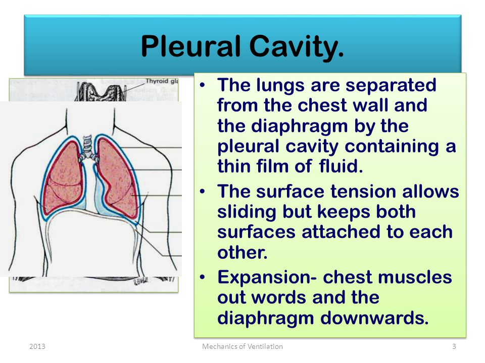 Pleural Cavity. The lungs are separated from the chest wall and the diaphragm by the pleural cavity containing a thin film of fluid. The surface tensi