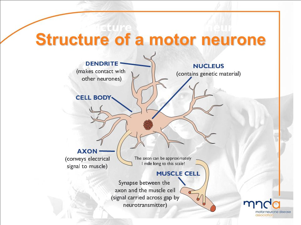Structure of a motor neurone