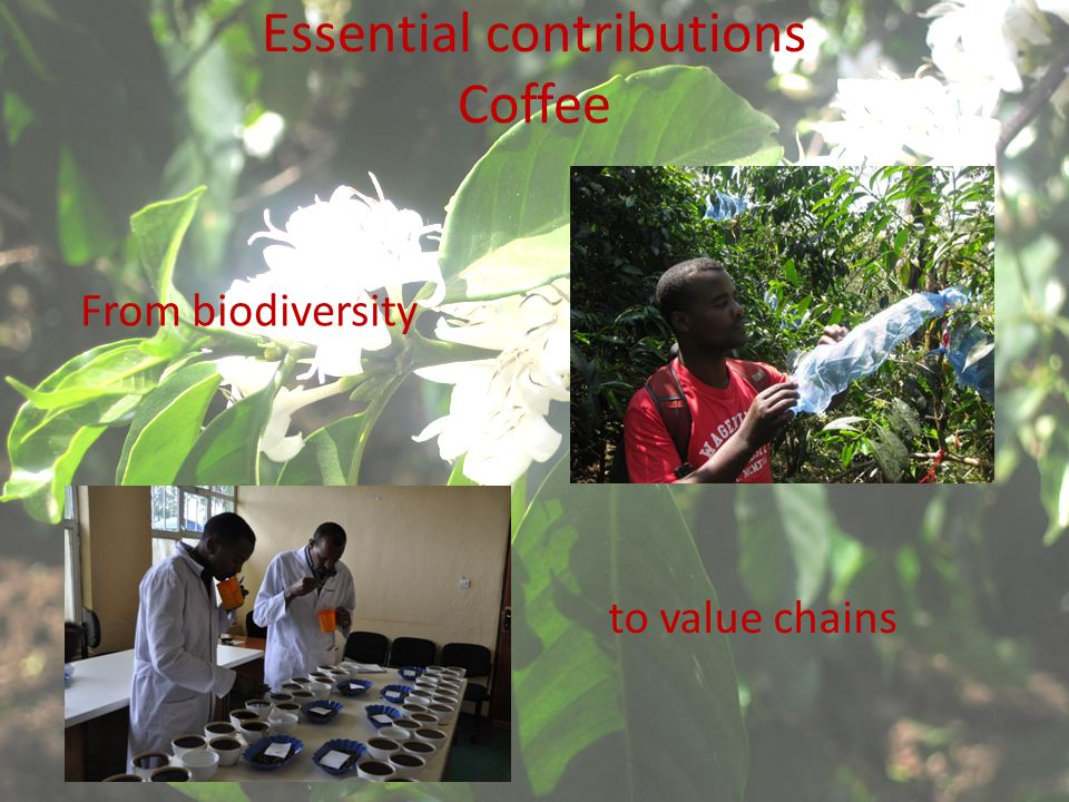 Essential contributions Coffee From biodiversity to value chains