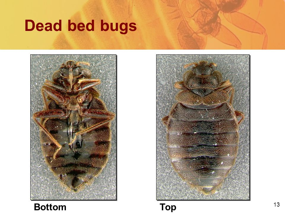 13 Dead bed bugs BottomTop