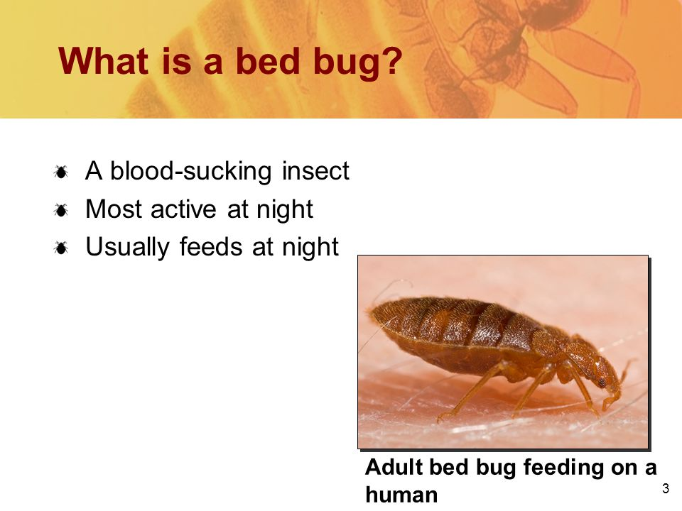 3 Adult bed bug feeding on a human What is a bed bug.