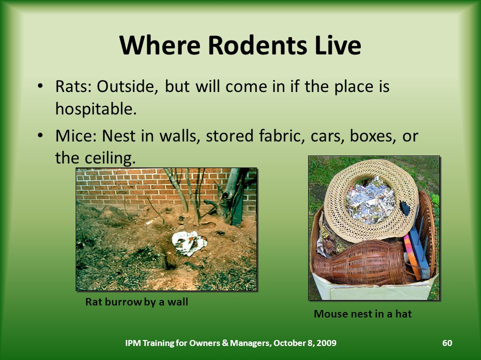 60 Where Rodents Live Rats: Outside, but will come in if the place is hospitable.