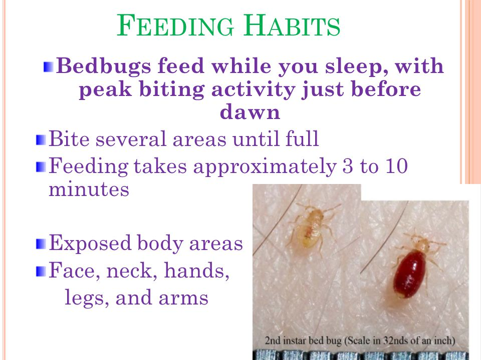 F EEDING H ABITS Bedbugs feed while you sleep, with peak biting activity just before dawn Bite several areas until full Feeding takes approximately 3 to 10 minutes Exposed body areas Face, neck, hands, legs, and arms