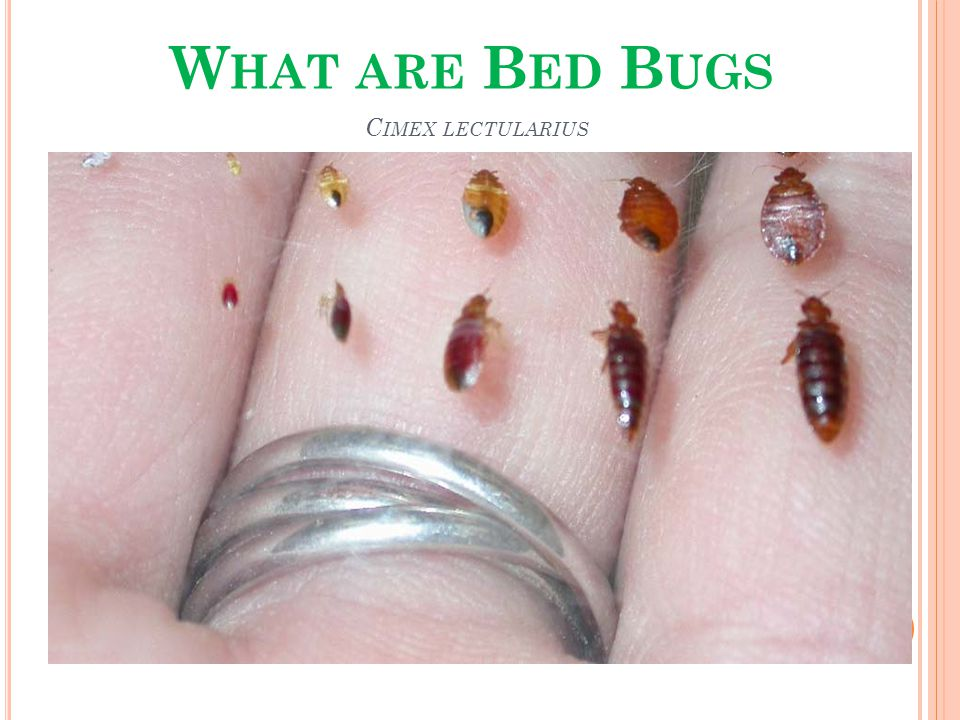 S MALL INSECTS THAT FEED ON HUMAN BLOOD _______________________________ Adult bug size of an apple seed Non-flying Reddish brown in color, appearing more reddish after feeding on a blood meal