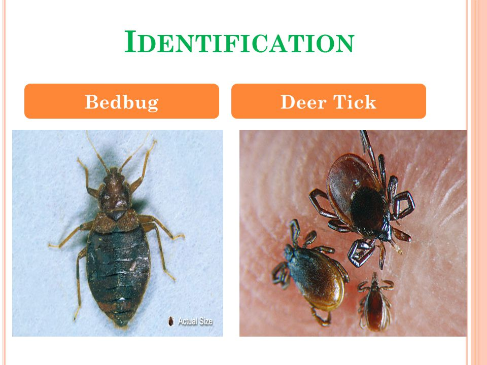 H OW TO I DENTIFY P RESENCE Check mattress and furniture seams for live or dead bugs, or feces