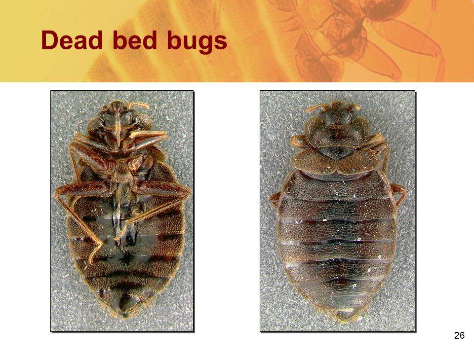 26 Dead bed bugs BottomTop