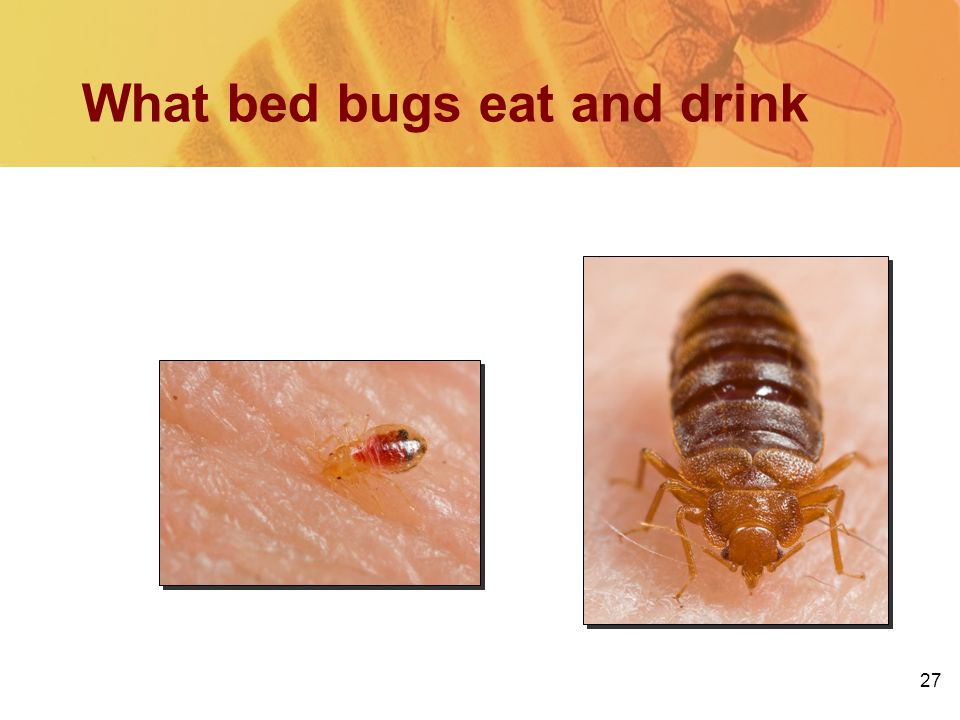 27 What bed bugs eat and drink Blood