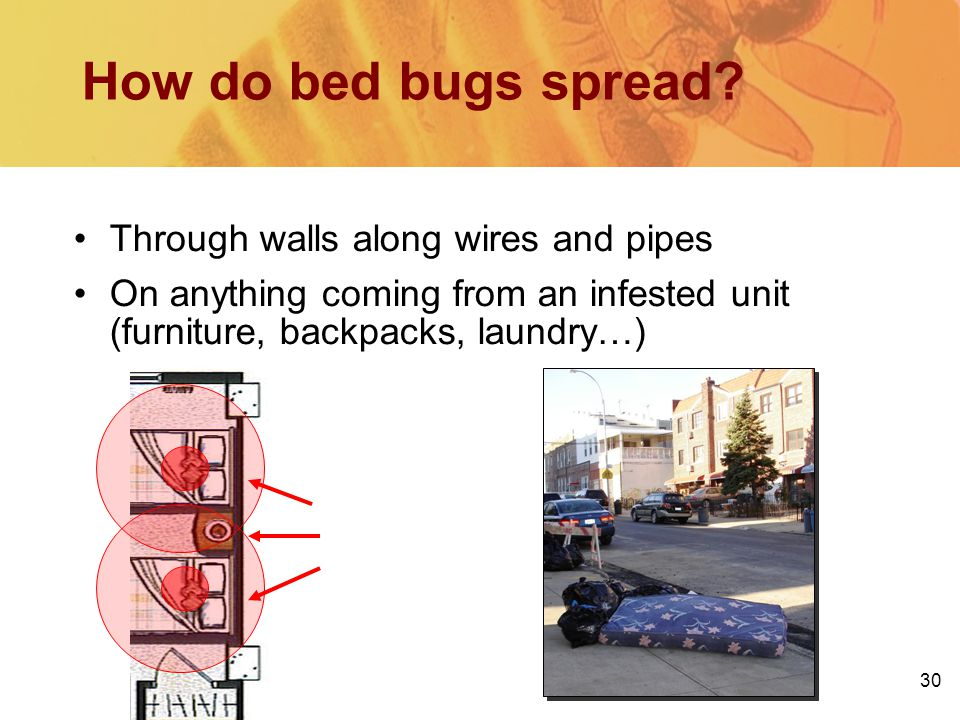 30 Whats on the other side of the wall? How do bed bugs spread? Through walls along wires and pipes On anything coming from an infested unit (furnitur