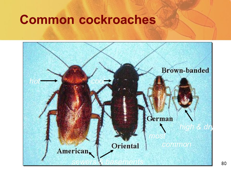 80 Common cockroaches most common sewers & basements high & dry hotcool