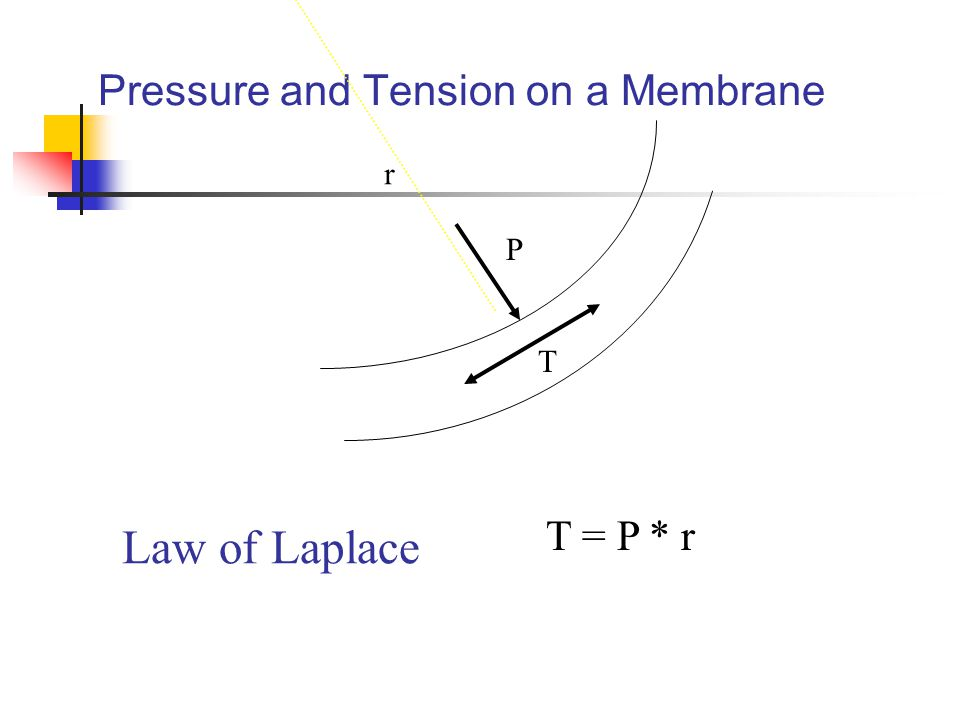 Pressure and Tension on a Membrane P T r T = P * r Law of Laplace