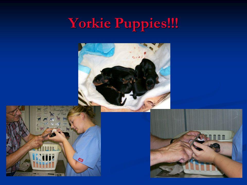 Yorkie Puppies!!!