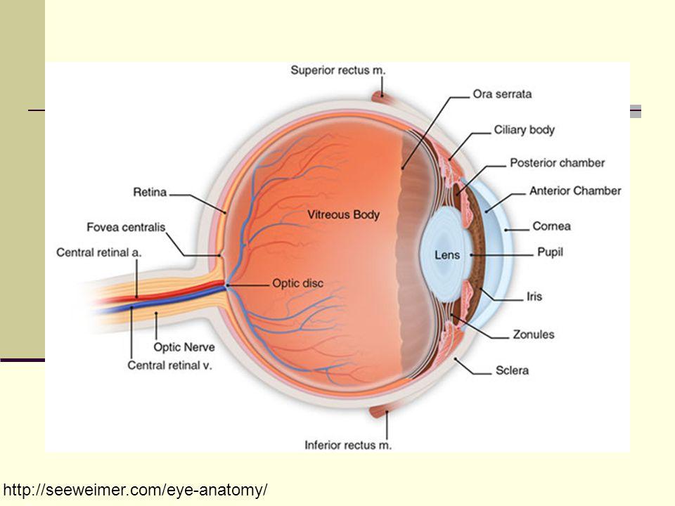 http://seeweimer.com/eye-anatomy/