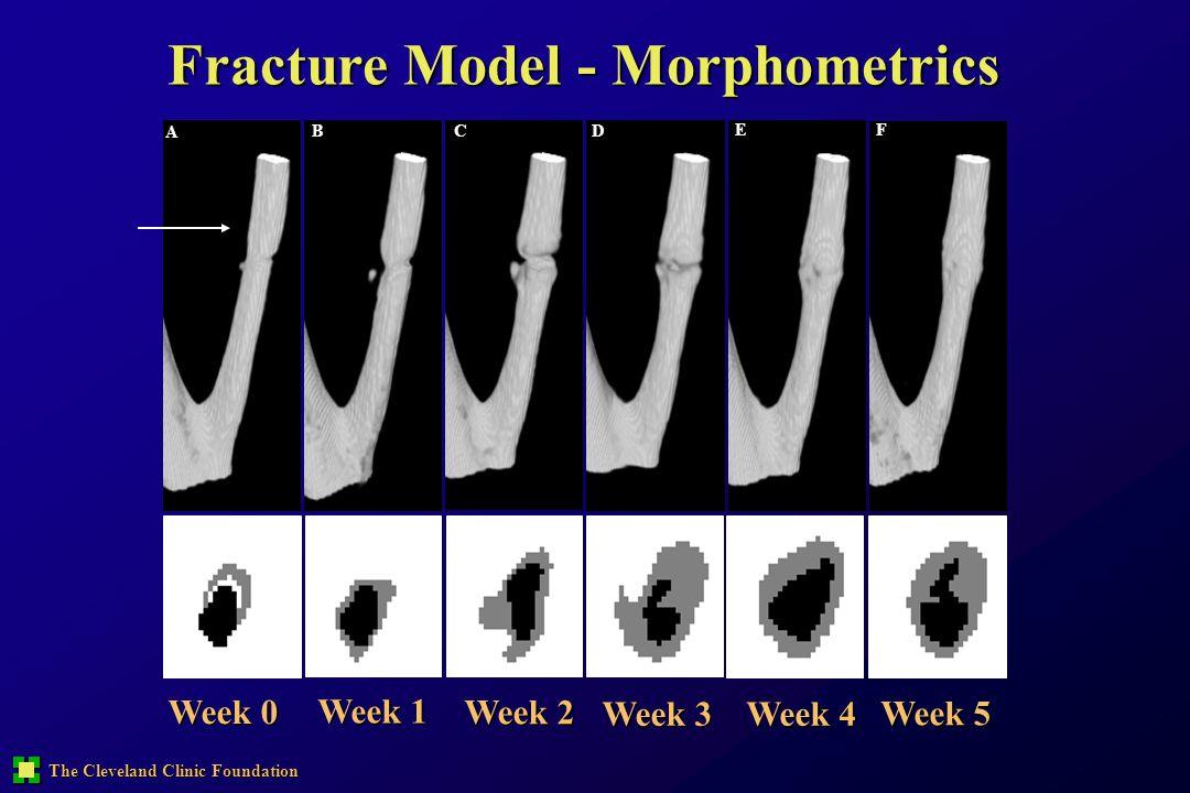 The Cleveland Clinic Foundation Fracture Model - Morphometrics A B CD E F Week 0 Week 1 Week 2 Week 3 Week 4 Week 5