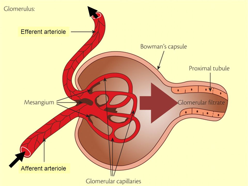 Filtrate is forced through holes in glomerular capillary walls Glomerular Filtration