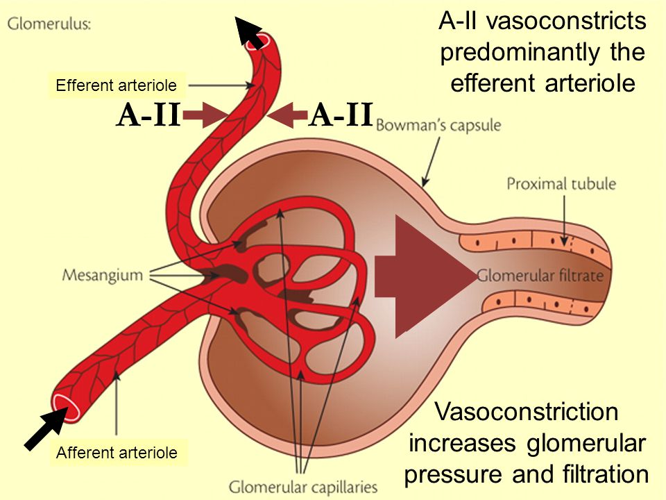 A-II Afferent arteriole Efferent arteriole A-II vasoconstricts predominantly the efferent arteriole Vasoconstriction increases glomerular pressure and