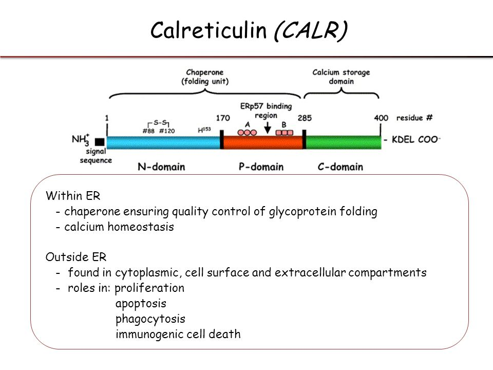 Within ER - chaperone ensuring quality control of glycoprotein folding - calcium homeostasis Outside ER - found in cytoplasmic, cell surface and extra