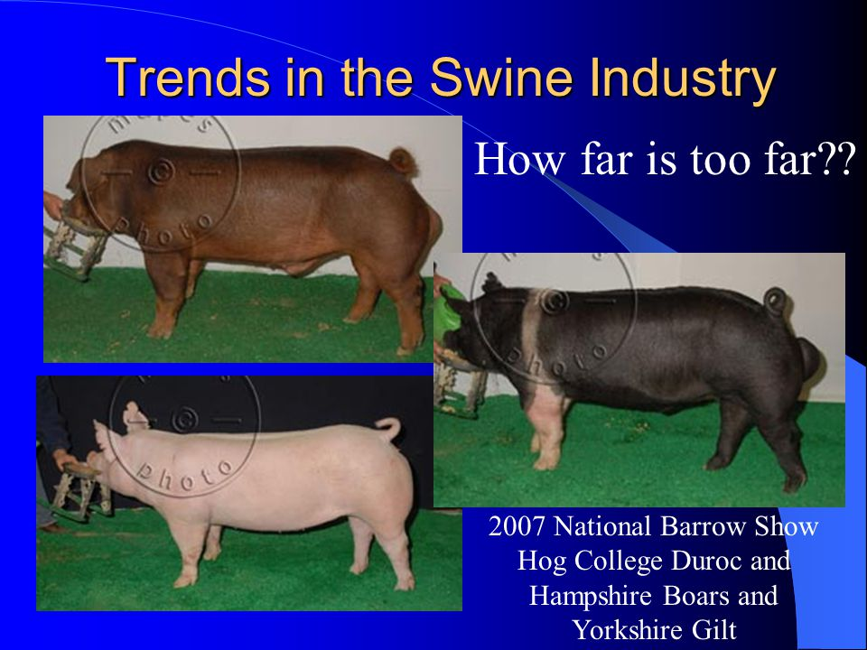Trends in the Swine Industry How far is too far?? 2007 National Barrow Show Hog College Duroc and Hampshire Boars and Yorkshire Gilt