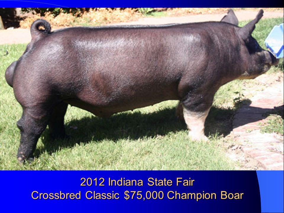 2012 Indiana State Fair Crossbred Classic $75,000 Champion Boar