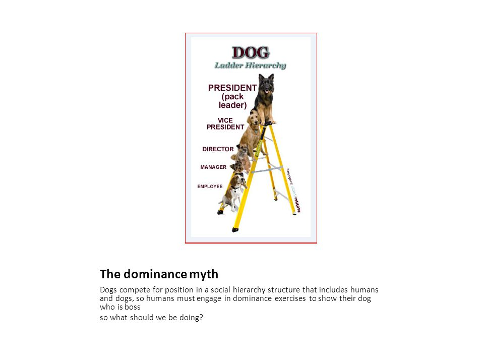 The dominance myth Dogs compete for position in a social hierarchy structure that includes humans and dogs, so humans must engage in dominance exercises to show their dog who is boss so what should we be doing