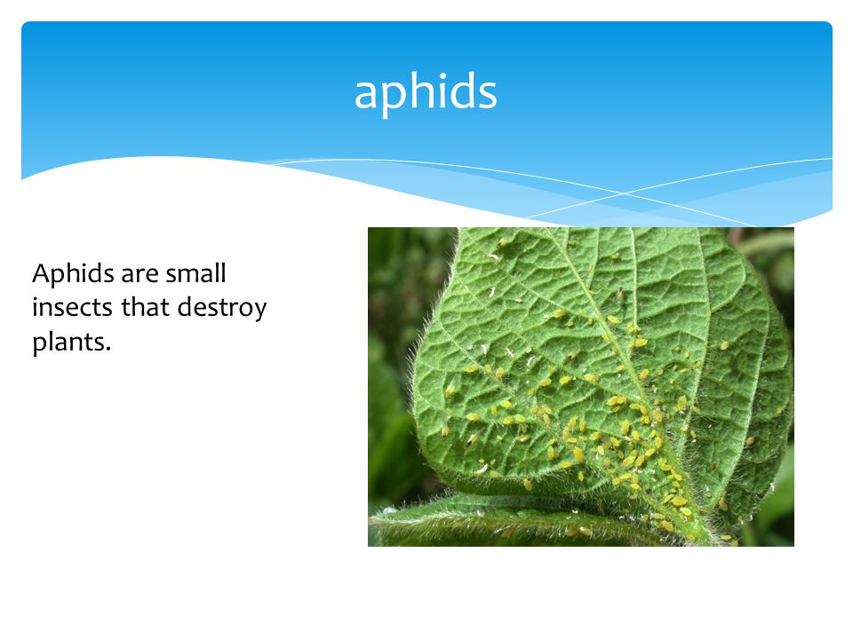 aphids Aphids are small insects that destroy plants.